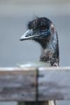 Emu_1w